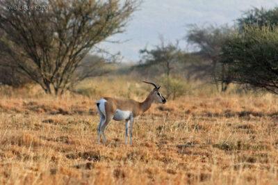 Et19073-Awash National Park-gazela