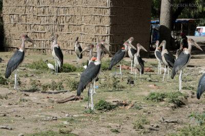 Et20018-Ptak Marabut