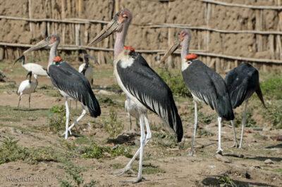 Et20019-Ptak Marabut