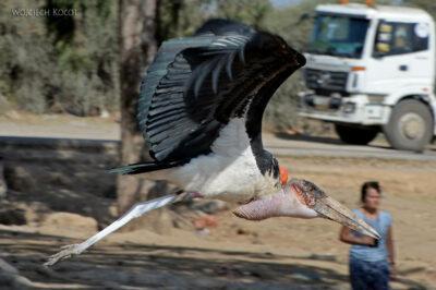 Et20026-Ptak Marabut