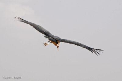 Et20029-Ptak Marabut