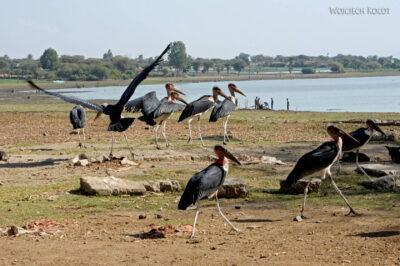 Et20030-Ptak Marabut