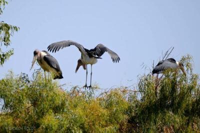 Et20039-Ptak Marabut