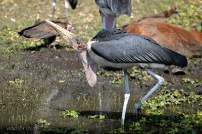 Et20049-Ptak Marabut