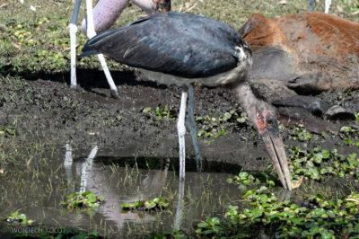 Et20050-Ptak Marabut