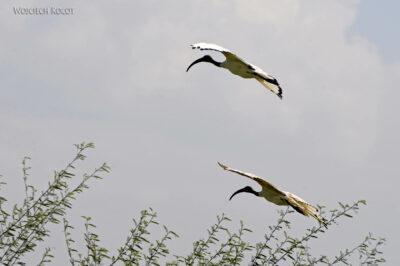 Et20058-Ptak Ibis