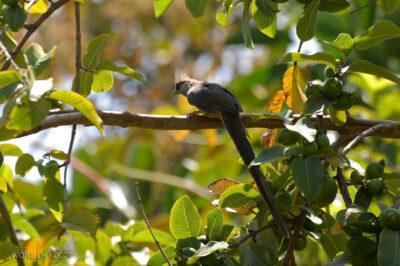 Et20077-Ptak Grey Lourie