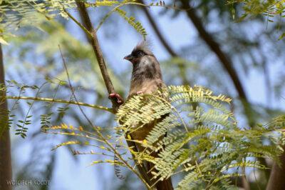 Et20079-Ptak Grey Lourie