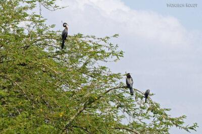 Et20092-Rejs poLake Ziway-ptak Słonecznica