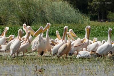 Et20096-Rejs poLake Ziway-ptak pelikan