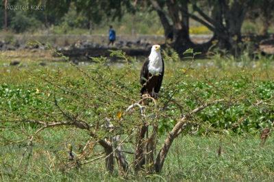 Et20101-Rejs poLake Ziway-ptak fish eagle