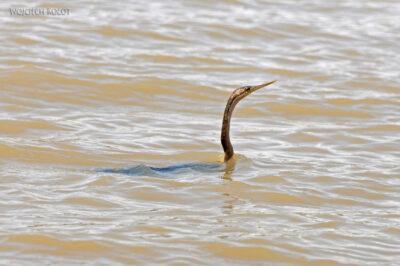 Et20103-Rejs poLake Ziway-ptak Słonecznica