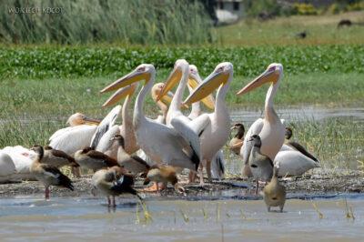 Et20105-Rejs poLake Ziway-ptak pelikan igęś