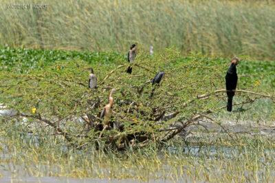 Et20109-Rejs poLake Ziway-ptak Słonecznica
