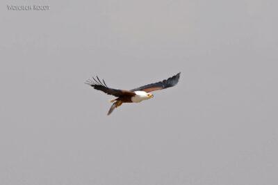 Et20114-Rejs poLake Ziway-ptak fish eagle