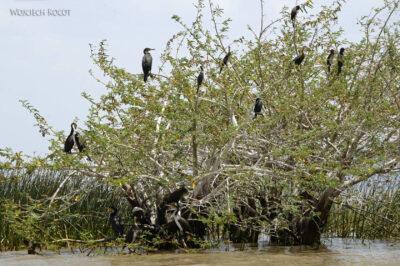 Et20125-Rejs poLake Ziway-ptak kormoran