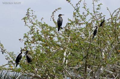 Et20126-Rejs poLake Ziway-ptak kormoran