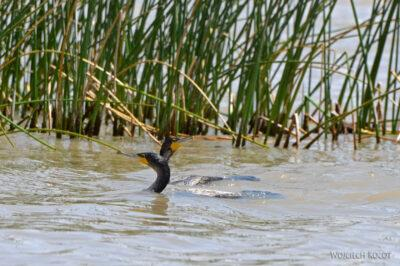 Et20127-Rejs poLake Ziway-ptak kormoran