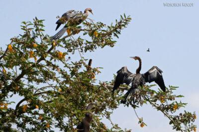 Et20128-Rejs poLake Ziway-ptak kormoran