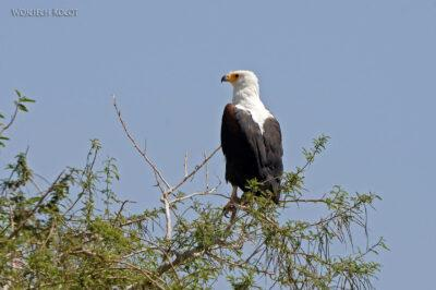 Et20134-Rejs poLake Ziway-ptak fish eagle