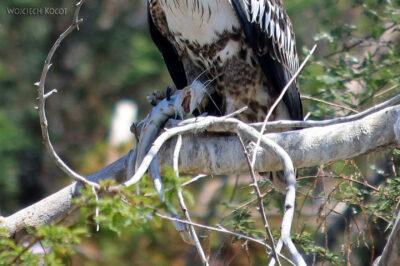 Et20142-Rejs poLake Ziway-ptak raróg zwyczajny