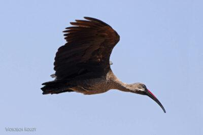 Et20150-Rejs poLake Ziway-ptak ibis