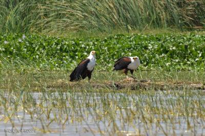 Et20170-Rejs poLake Ziway-ptak fish eagle