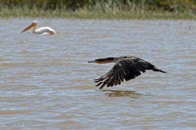 Et20171-Rejs poLake Ziway-ptak kormoran