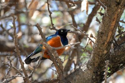 Et20192-Nad Lake Langano-ptak Błyszczak Rudobrzuchy