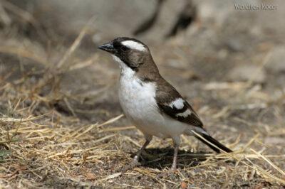 Et20196-Nad Lake Langano-ptak Wikłacz