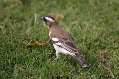 Et20198-Nad Lake Langano-ptak Wikłacz