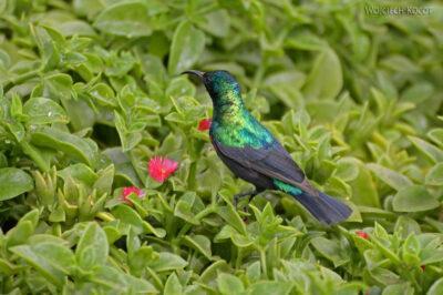 Et20203-Nad Lake Langano-ptak Nektarnik