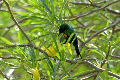 Et20209-Nad Lake Langano-ptak Nektarnik