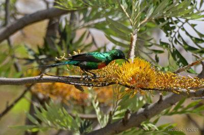 Et20212-Nad Lake Langano-ptak Nektarnik