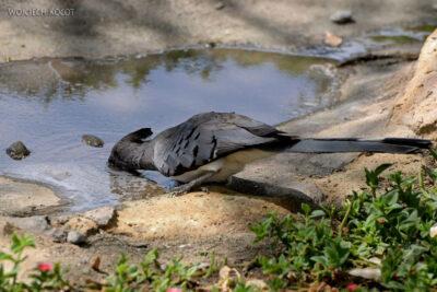 Et20218-Nad Lake Langano-ptak Grey Lourie