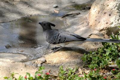 Et20219-Nad Lake Langano-ptak Grey Lourie