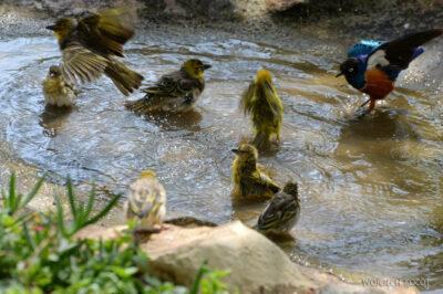 Et20225-Nad Lake Langano-ptak Wikłacz