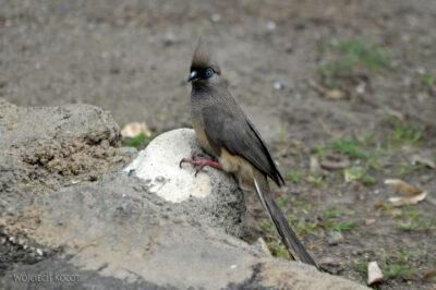Et20230-Nad Lake Langano-ptak Grey Lourie