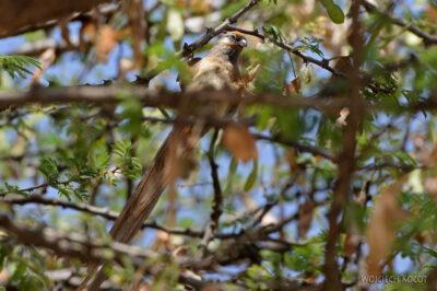 Et20232-Nad Lake Langano-ptak Grey Lourie