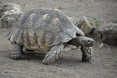 Et20251-Nad Lake Langano-żółw