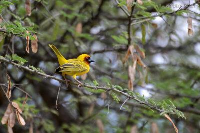 Et20254-Nad Lake Langano-ptak Wikłacz