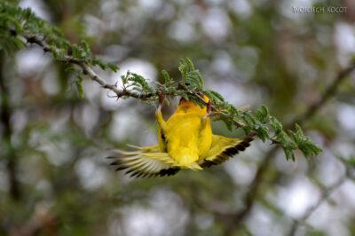 Et20255-Nad Lake Langano-ptak Wikłacz