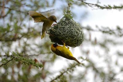 Et20266-Nad Lake Langano-ptak Wikłacz