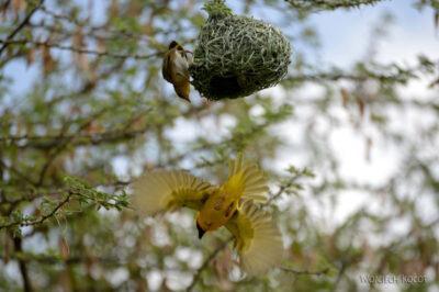 Et20270-Nad Lake Langano-ptak Wikłacz