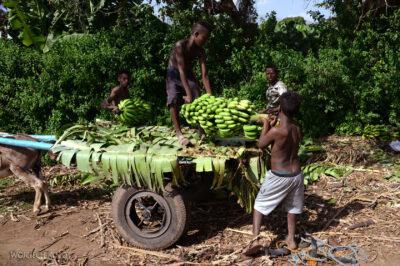 Et21023-Po drodze do Arba Minch-banany