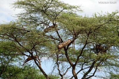 Et25014-Ule na drzewach
