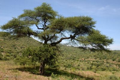 Et23213-Wioska plemioenia Tsmai-ule na drzewach