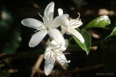 Et23314-Wioska plemienia Aari-kwiat kawy